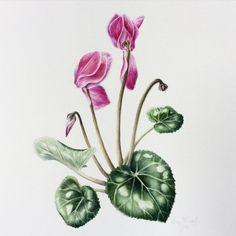 kellycreates:  Sicka cyclamen !  Here's the final… For now…...