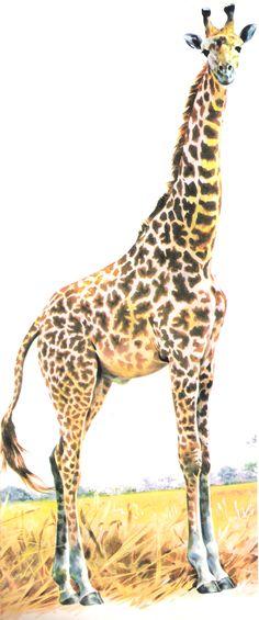 Enciclopédia Os Bichos - Editora Abril Cultural (1970) - Girafa.