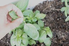 The most important thing to know is that you want to pick off whole stems, not just leaves, for your basil to flourish! Also, the more frequently and further down the stem that you pick, the better.