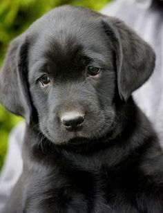 Labrador Retriever Pup More