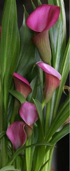 Few fresh cut flowers offer the elegance and versatility of the calla lily. If you are designing your own wedding bouquet, centerpieces or arrangements, the calla lily will provide all of the style… Flowers Nature, Exotic Flowers, Amazing Flowers, My Flower, Pink Flowers, Beautiful Flowers, Calla Lily Flowers, Cut Flowers, Lys Calla