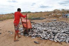 IPANGUAÇU AGORA: Chuvas provocam morte de peixes criados em cativei...