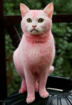 Who turned this kitten into the Pink Panther?: Yobs leave animal ...