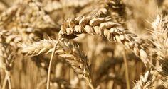55 болести – причинени от глутена http://www.zdravnitza.com/a/nav/news/s/s/news_id/6656