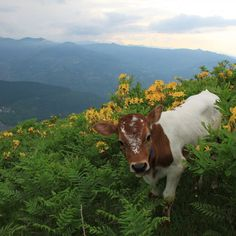 """pnut-butter: """" namaste-nia: """" This baby is reason alone to """" omg this cow is v cute i want him """" Farm Animals, Animals And Pets, Cute Animals, Cute Creatures, Beautiful Creatures, Fluffy Cows, Baby Cows, Cute Cows, Animal Kingdom"""