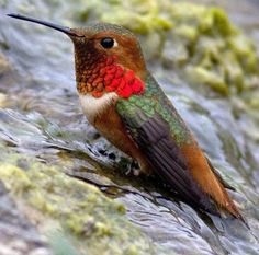 Maybe I'll just go up to my belly.   Male Allen's Hummingbird by Terry Davitt via Audubon California FB