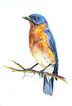 A Bluebird Sketch With Watercolor Pencils
