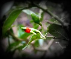 Small Red Chilly - If you have more than one, you're surely going to die! It is THAT hot! :) #Kerala #Food
