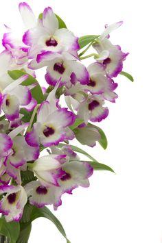 Dentre as flores que começam a florir agora que a Primavera chegou está uma belíssima orquídea dendrobium, sobre a qual já falamos aqui...