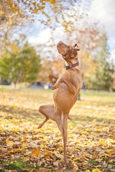 Vizsla dancing in the fall leaves!