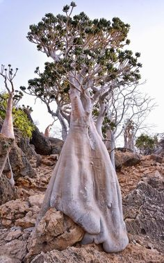 Best Indoor Garden Ideas for 2020 - Modern Socotra, Picture Tree, Photo Tree, Giant Tree, Big Tree, Trees And Shrubs, Trees To Plant, Succulent Tree, Weird Trees