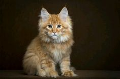 Are you looking to find Maine Coon Kittens for sale? We have some tips and advice to help you find these cats for sale from a trusted breeder in your area Chat Maine Coon, Maine Coon Kittens, Pretty Cats, Beautiful Cats, Kittens Cutest, Cats And Kittens, Siamese Cats, Norwegian Forest Cat, Orange Cats
