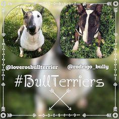 Bullie Faces: @loverosbullterrier & @rodrigo_bully #BullTerrier #BullTerriers #BullTerrierLove #BullTerriersOfInstagram #ILoveMyBullTerrier || #EBT #EnglishBullTerrier #EnglishBullTerriers || #DogsOfInstagram #LandShark #MiniBull #MiniBullTerrier #MiniBullTerriers #MiniatureBullTerrier #MiniatureBullTerriers