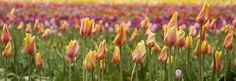 Wooden Shoe Tulip Farm outside Woodburn, OR - Spring 2011