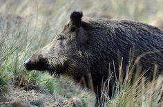 Natur Tattoos, Boar Hunting, Animal 2, Wild Boar, Hunting, Funny, Animales