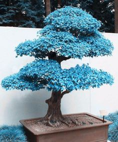 Blue Maple Bonsai Tree Seeds Cultivate an atmosphere of serenity in your humble abode by planting your very own blue maple bonsai tree. The seeds of this beautiful and rare bonsai are relatively easy. Flowering Bonsai Tree, Bonsai Tree Types, Indoor Bonsai Tree, Bonsai Plants, Maple Tree Seeds, Maple Bonsai, Juniper Bonsai, Japanese Tree, Japanese Maple