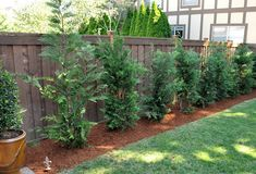 Screening: Leland Cypress grow like weeds, if you are looking for a great tree for privacy in a hurry. We have 34 of these planted.plan to plant 35 plus this spring. Wonder which ones are deer resistent. Privacy Landscaping, Backyard Privacy, Backyard Ideas, Privacy Trees, Garden Landscaping, Outdoor Projects, Garden Projects, Garden Ideas, Fast Growing Trees