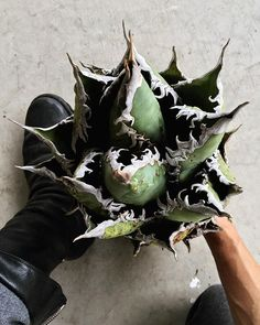 ". . . . . titanota collections . . . Agave titanota "" FO-76 "" . . . . . . . . . . . #agave #titanota #titanotacollections #reae #old #succulent #succulents #plants #plantstagram #botanical #botanicalart #botanicallife #la #california #sandiego #アガベ #アガベの山 #botanique_de_tavern #garrotnagoya"
