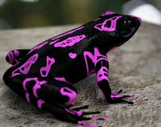 The purple fluorescent harlequin frog was discovered in Suriname in 2007. It is one of 24 new species discovered whose lives are being threatened by illegal gold mining.
