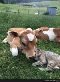 redwingjohnny: Baby cow calf snuggles tabby cat who says I love moo by ifindkarma on Flickr.