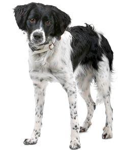 Hondenrassen - Friese Stabij