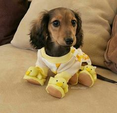 OMGoodness this Little Doxie Puppy stole my Heart ...Awwww she's beyond Precious wearing this chickie outfit LOL