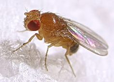 Fruit Fly types, information and pest control: what fly traps are the best and how to get rid of fruit flies. Also read about house flies and crane flies. Diy Fruit Fly Trap, Insect Pest, Fruit Flies, Fly Traps, Pet Rats, Live Long, Pest Control, Bug Control, How To Get Rid