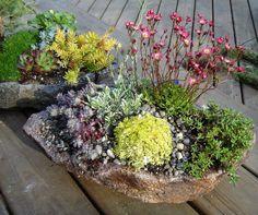 sempervivum rock garden