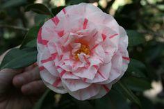 Camellia japonica 'Lil Schaefer' (U.S., 1979)