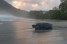Leatherback turtle makes comeback