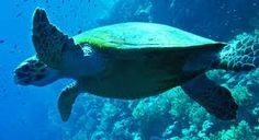 Info & facts about Cape Verde Sal: Scuba diving and Snorkeling in Cape Verde islands. Reefs, ship wrecks, beaches and more. See sharks, turtles, stingrays Turtle Beach, Santa Maria Cape Verde, Sea Turtle Information, Cape Verde Sal, Sea Turtle Species, Verde Island, Green Turtle, Oceans Of The World, Thinking Day