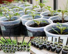 Tomato seedlings on my balcony