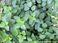Origanum spp. (Dittany / Oregano)
