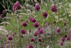 Allium sphaerocephalon / Kugelköpfiger Lauch - Juni bis Juli