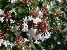 La abelia, Abelia x grandiflora, es un arbusto de tamaño medio, 1,5-3 metros de altura. Ramifica mucho y sus romas tienen una característica coloración rojiza. Se usa en jardinería ornamental para componer algún fondo y generalmente en grupo. Aunque también se puede cultivar de manera aislada e incluso en maceta.  Aunque sus hojas son muy interesantes destaca sobre todo por su bonita floración. Floración que además es larguísima pues comienza en primavera y dura hasta el otoño. Otra…