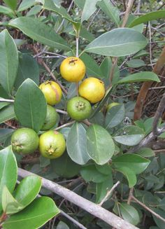 Spondias Purpurea Tree