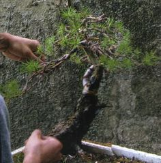 Crear el bonsai desde la semilla.  Por qué preguntaran Uds?  Porque la planta se va a desarrollar armónicamente desde el inicio y todos sus elementos se van a ir desarrollando paralela y contemporáneamente: tronco, ramas, raíces.  #bonsai #semillas #arte #hobby Bonsai, Animals, Wood Trunk, Step By Step, Create, Branches, Art, Hobbies, Animales