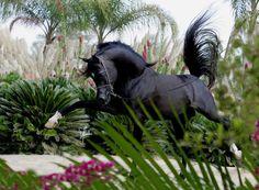 Mirajh RCA, champion black Egyptian Arabian stallion (Alixir x Rhapsody in Black by Thee Desperado), exported to Egypt.  Arabians Ltd. #rhapsodyinblack #theedesperado