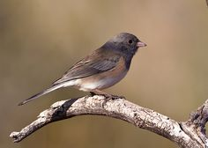 Dark-eyed Junco photo by Eric Gofreed from Flickr at Lurvely