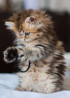 Could this kitten be any fluffier . . . hey wait,that's not a milk container ring !! Can someone get this kitten a milk container ring please !!