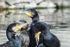 Kormorán Tisza-tó Animals, Animales, Animaux, Animal, Animais