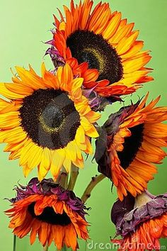 ❤  Gorgeous Sunflowers -=- Artistry by Kasia Biel