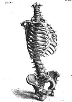 Scientific Illustration Anatomy Drawing, Anatomy Art, Anatomy Reference, Art Reference, Rib Cage Drawing, Sibylla Merian, Anatomy Bones, Scientific Drawing, Anatomy For Artists
