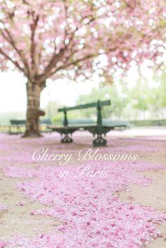 Cherry blossoms in Paris by Georgianna Lane, author of Paris in Bloom Public Garden, French Lessons, Flower Market, Parisian, France, Cherry Blossoms, Bloom, Versailles, Floral