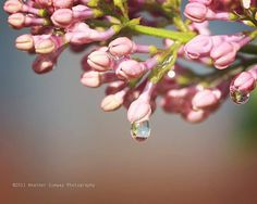 8x10 Mounted Metallic signed print. Raindrops on Pretty Pink Spring Blossom Lilacs Summer Flowers - Fine Art Photography, Wall Decor