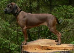 Bavarian Mountain Hound #Dogs #Puppy