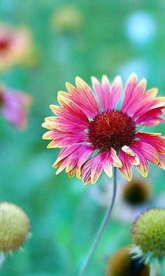 #Oklahoma Indian Blanket - State Wildflower