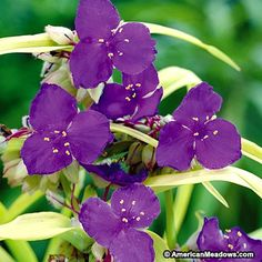 Spiderwort Sweet Kate is a lovely deep purple hybrid that is close to the original but much shorter and neater. Only 12 to 14 inches tall. (Tradescantia)
