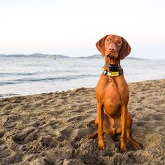 "Tex, Vizsla (2 y/o), Crissy Field Beach, San Francisco, CA • ""I think he's the fastest dog on the beach."""