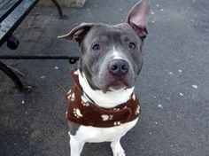 OUT OF TIME!TO BE DESTROYED - 01/13/14 Manhattan Center -P My name is NEESON. My Animal ID # is A0988823. I am a male blue and white pit bull mix. The shelter thinks I am about 3 YEARS old.I came in the shelter as a STRAY on 01/04/2014 from NY 10310, owner surrender reason stated was STRAY. Volunteer says Neeson is truly awesome! https://www.facebook.com/photo.php?fbid=736897082989840&set=a.617938651552351.1073741868.152876678058553&type=3&permPage=1